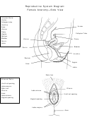 Reproductive System Diagram Female Anatomy Side View