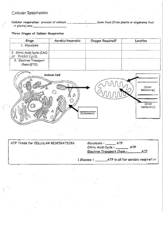 Cellular Respiration Flow Chart Rcsd Printable Pdf Download