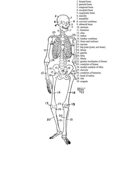 Top Skeleton Charts Free To Download In Pdf Format