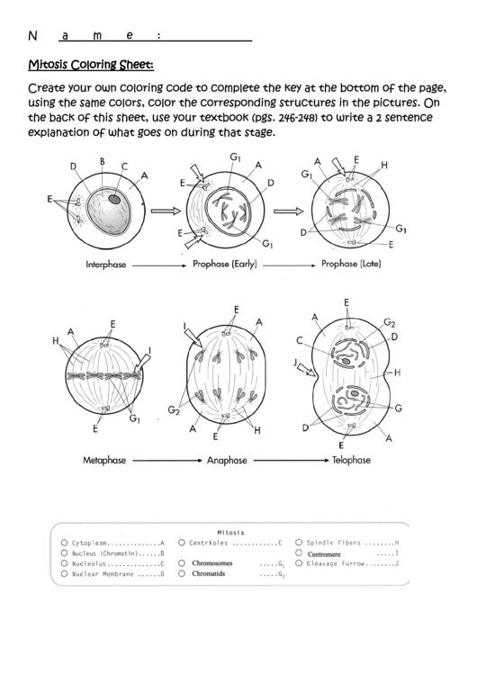 Mitosis Coloring Sheet printable pdf download