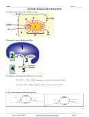 Cellular Respiration Diagrams - Biology Worksheet