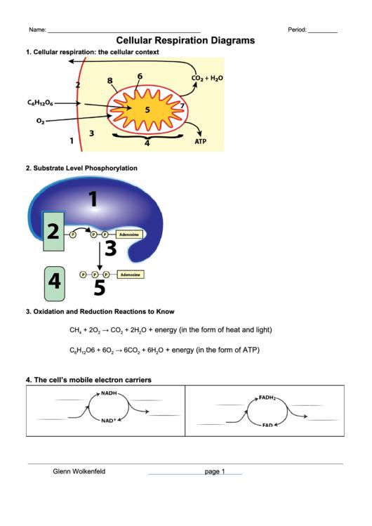 Cellular Respiration Diagrams Biology Worksheet Printable Pdf Download