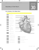 Anatomy Of The Heart Worksheet With Answers