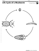 Life Cycle Of A Mealworm Organisms Information Sheet