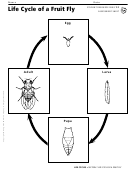 Life Cycle Of A Fruit Fly Life Cycles Assessment Sheet