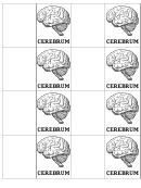 Cerebrum Biology Flashcards Template
